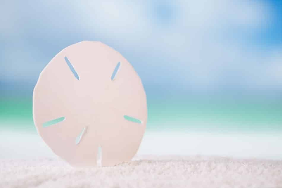 How to Clean a Sand Dollar
